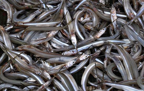 西岗银针鱼